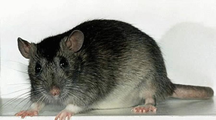 Во сне кусает крыса. К чему снятся крысы во сне женщине? Сонник крысы