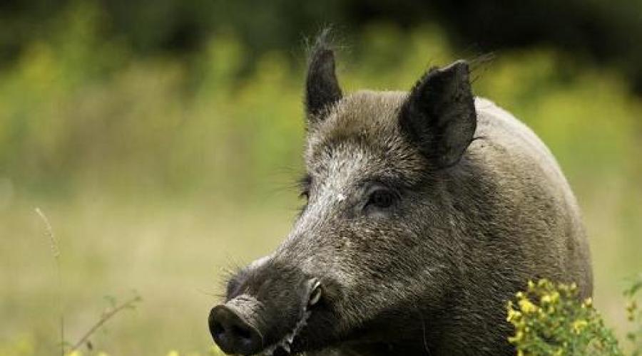 يطارد الخنزير الحلم تفسير الأحلام لماذا يحلم الخنزير